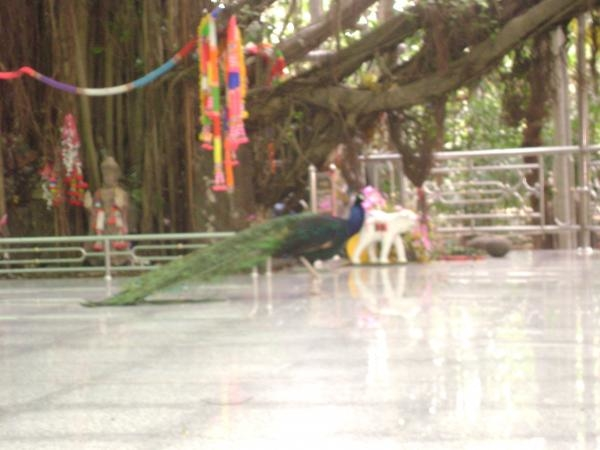 นกยูงบนลานธรรม วัดป่ามัชฌิมวาส