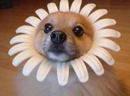 dog daisy