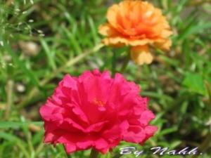 nana corners (Portulaca ross/Rose moss/Sun plant)