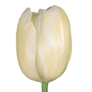 White French Tulip Flower 300