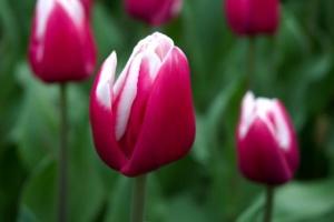 280406 tulip