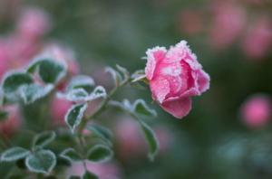 แม่คะนิ้ง..Pink Rose