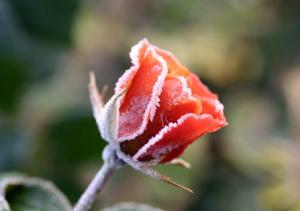 แม่คะนิ้ง...Red  Rose