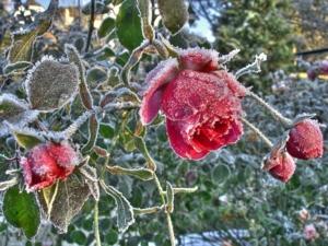 แม่คะนิ้ง.. Ice Roses