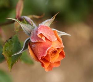 แม่คะนิ้ง..Old Rose