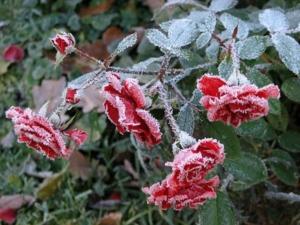 แม่คะนิ้ง..Ice Roses