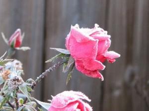 แม่คะนิ้ง Pink Rose