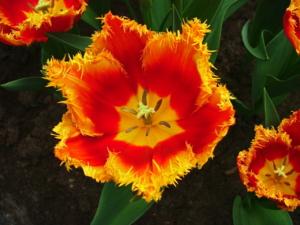 DSCF0284ดอกทิวลิปสีนี้แปลกดีเน๊าะ ..สีก็สวย..