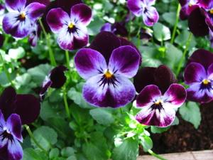 DSCF0302 ดอกไม้ชนิดนี้มีหลายสี สีและสวยลาดแปลกๆดี ชื่อก็แปลก ภาษาเยอรมันเรียก.. Stiefmütterchen..แปลเป็นไทย คือ ดอกแม่เลี้ยง..