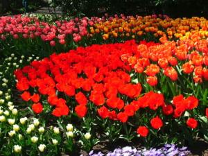 DSCF1446 สวยมากๆค่ะ ดอกลิวลิปพันธุ์สูงดอกใหญ่ สีต่างๆปลูกรวมกันกับดอกทิวลิปพันธุ์แคระ..
