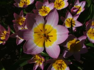 DSCF1445 ดอกทิวลิป พันธุ์แคระชนิดนี้ ก็สวยไปอีกแบบ..