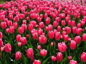 DSCF1484 ดอกทิวลิป ชนิดดอกใหญ่ พันธุ์สูง..