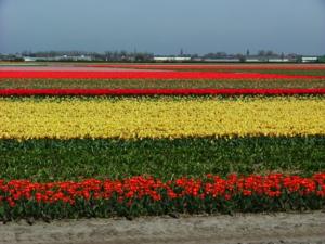 DSCF1498 ไร่ดอกทิวลิป ถ่ายในชลบท ชาวสวนจะปลูกดอกทิวลิป เพื่อส่งออกขายยังที่ต่างๆทั้งใน และนอกประเทศค่ะ...