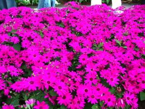 DSCF0300 ดอกไม้ชนิดนี้ก็สวยค่ะ ปรกติจะมีหลายสี ทั้งสีแดง สีขาว สีม่วง สีเหลือง สีเลือดหมู  แต่ละสีจะมีเอกลักษณ์ของตัวเอง ..สวยมากๆค่ะ