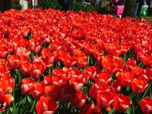DSCF1410 ดอกทิวลิป สีแดงชมพูก็สวยไปอีกแบบค่ะ..