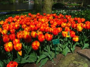DSCF1422 ดอกทิวลิป สีแดงอมส้มและสีเหลือง สวยมากๆค่ะ..