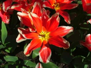 DSCF1441 ดอกทิวลิป สายพันธุ์เตี้ย สายพันธุ์หนึ่ง..