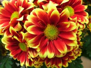 DSCF1464 ดอกไม้ชนิดนี้ ไม่รู้ภาษาอังกฤษเรียกว่าอะไร รู้แต่ว่ามันเหมือน ดอกดาวเรืองบ้านเรานะ..
