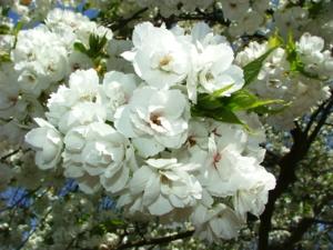 DSCF1507 ดอกไม้พุ่มขาวๆนี้ คือดอกจากต้นเชอร์รี่ จะมีสีชมพู สีขาว แล้วแต่ชนิด มันจะออกดอกแบบนี้แหละก่อนๆ จะมาเป็นผลเชอร์รี่..