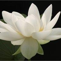 white fullbloom