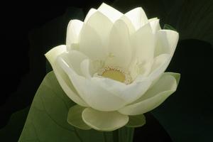 whitelotus1