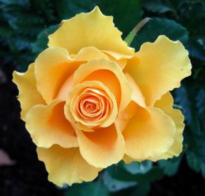 Rosa Sphinx