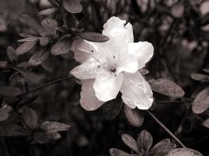 ดอกไม้ซีเปียร์12 360
