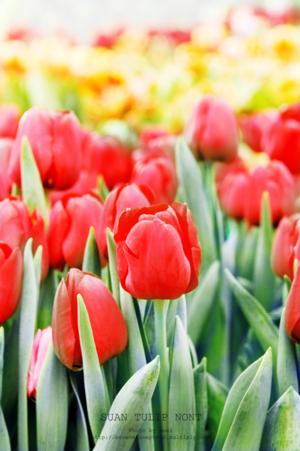 ดอกทิวลิปDSC 6037