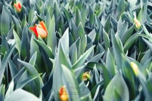 ดอกทิวลิปDSC 6042