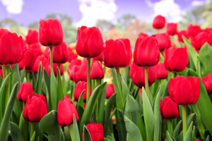 ดอกทิวลิปDSC 6103