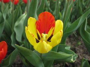 Tulipe 18 4 09 010