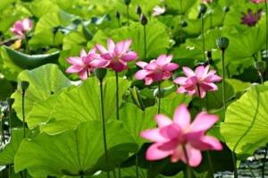 pond pink lity lotus