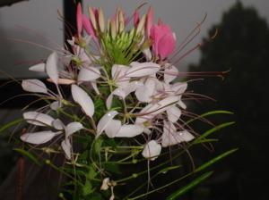 ดอกไม้ที่ปายจ๊ะ