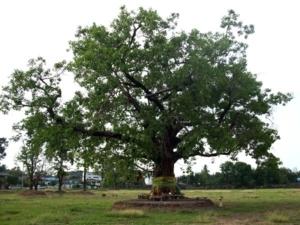 ต้นไม้หลังศาลสมเด็จพระนเรศวรมหาราช มีดาบเต็มใต้ต้นไม้เลยทีเดียว