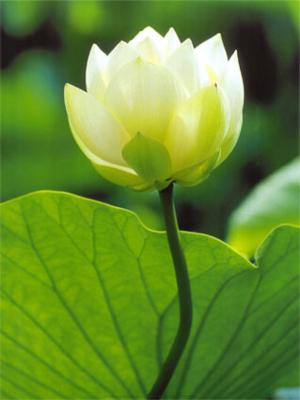 White Lotus Posters
