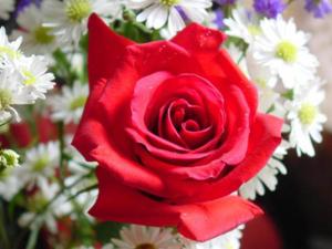 rose00033