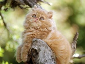 Ange Persian Kitten