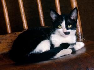 Black and white shorthair