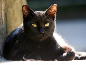 Black cat bright yellow eyes