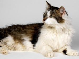 Brown white long hair cat