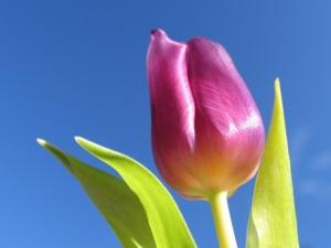 1024 Magenta Tulip 1