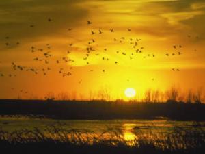 tuttlecreek geese