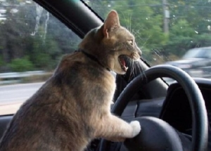 silly cat driving car cartoon drawing