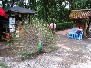 นกยูงไทย