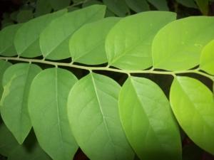 ติง ปโท ต้นไม้ 028