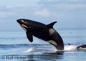 killer whale breach