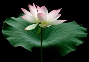 lotus0092