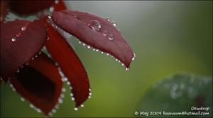 Dewdrop001
