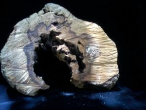 ภาพไม้กาหลงอายุกว่า100ปีตายพรายเอง ถึงว่ามีความศักสิทธ์ในตัวเอง