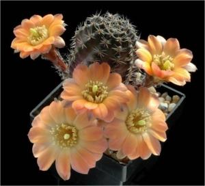 Cactus13